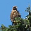 07-18-13_b_red-tailed_hawk_a