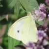 08-21-13_art_insect_cabbage_white_butterfly_logo