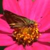 08-21-13_art_insect_woodland_skipper_ochlodes_sylvanoides_logo