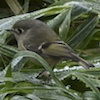 12-09-13_b_ruby_crowned_kinglet_h