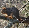 12-10-13_mam_fox_squirrel_c