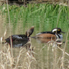 20130304-03-04-13_b_hooded_merganser_a