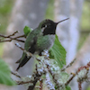 20130411-04-11-13_b_annas_hummngbird_e1