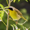 20130527-05-27-13_b_common_yellowthroat_a
