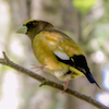 20130531-05-31-13_b_evening_grosbeak_b