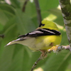 20130701-07-01-13_b_american_goldfinch_b