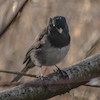 20140117-20140117-01-17-14_b_dark-eyed_junco_d