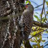 20140407-04-08-14_b_northern_flicker_1