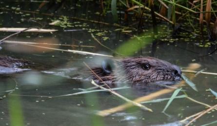 Beaver_Achiever_3