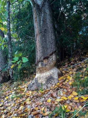 Beaver_lumber_3