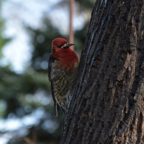 01-08-15_red-breasted_sapsucker_2