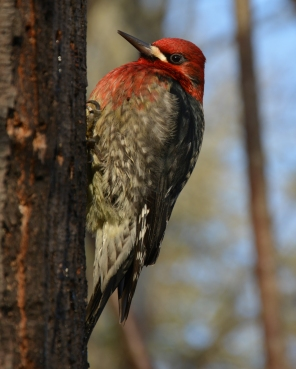 01-08-15_red-breasted_sapsucker_3