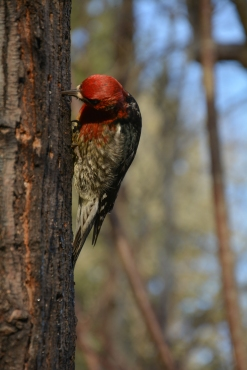 01-08-15_red-breasted_sapsucker_5