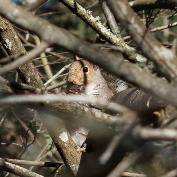 01-13-15_m_eastern_gray_squirrel_eating_douglas-fir-cone