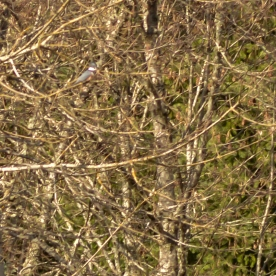 Belted King Fisher (not a great photo)