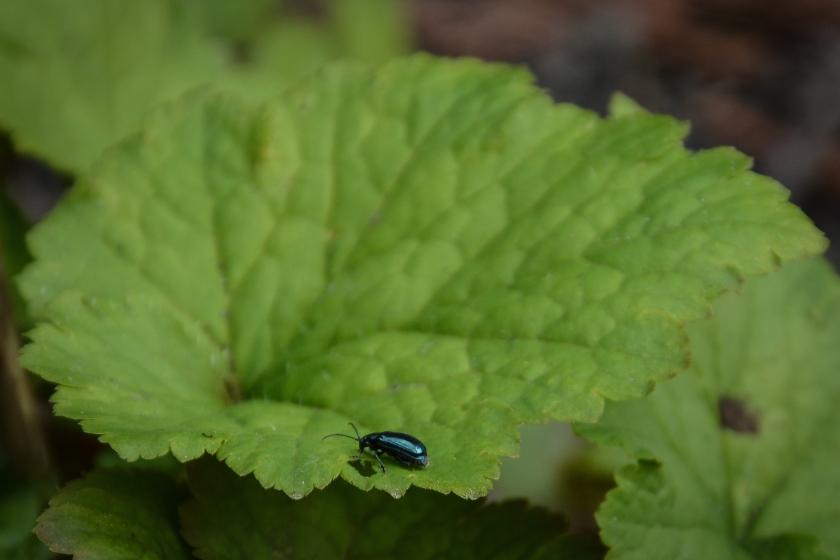 03-20-14_art_alder_flea_beetle_4