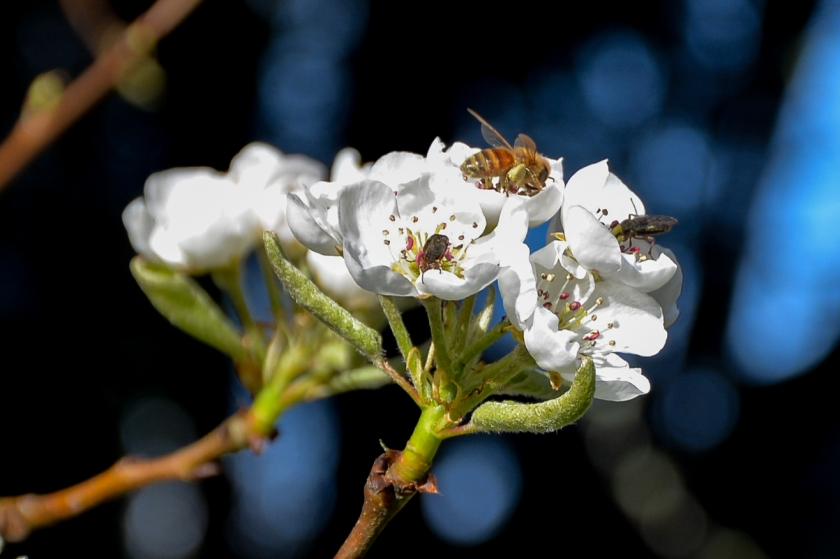 04-06-14_pear_blossom_pollinators_march_fly_honey_bee