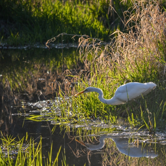 03-07-15_b_great_egret_13