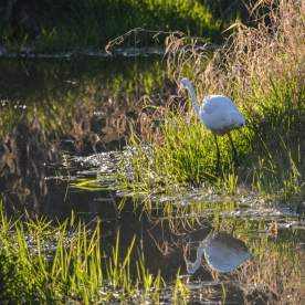 03-07-15_b_great_egret_14
