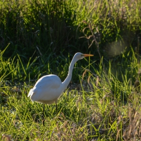 03-07-15_b_great_egret_6