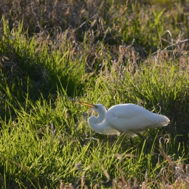 03-07-15_b_great_egret_8