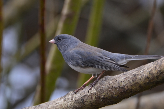 Dark-eyed Junco (gray-sided)