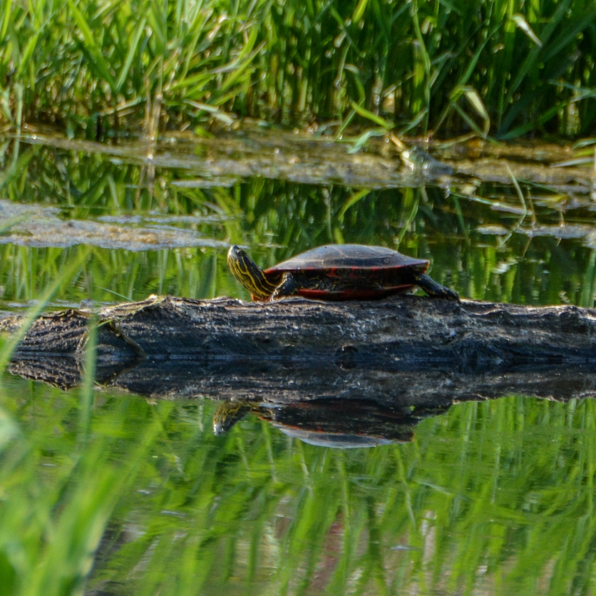 04-19-15_rep_painted_turtle_a