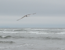 As_a_gull_soars