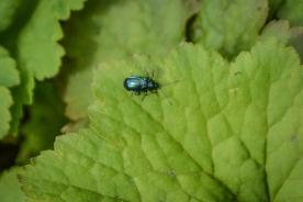 03-20-14_art_alder_flea_beetle_6