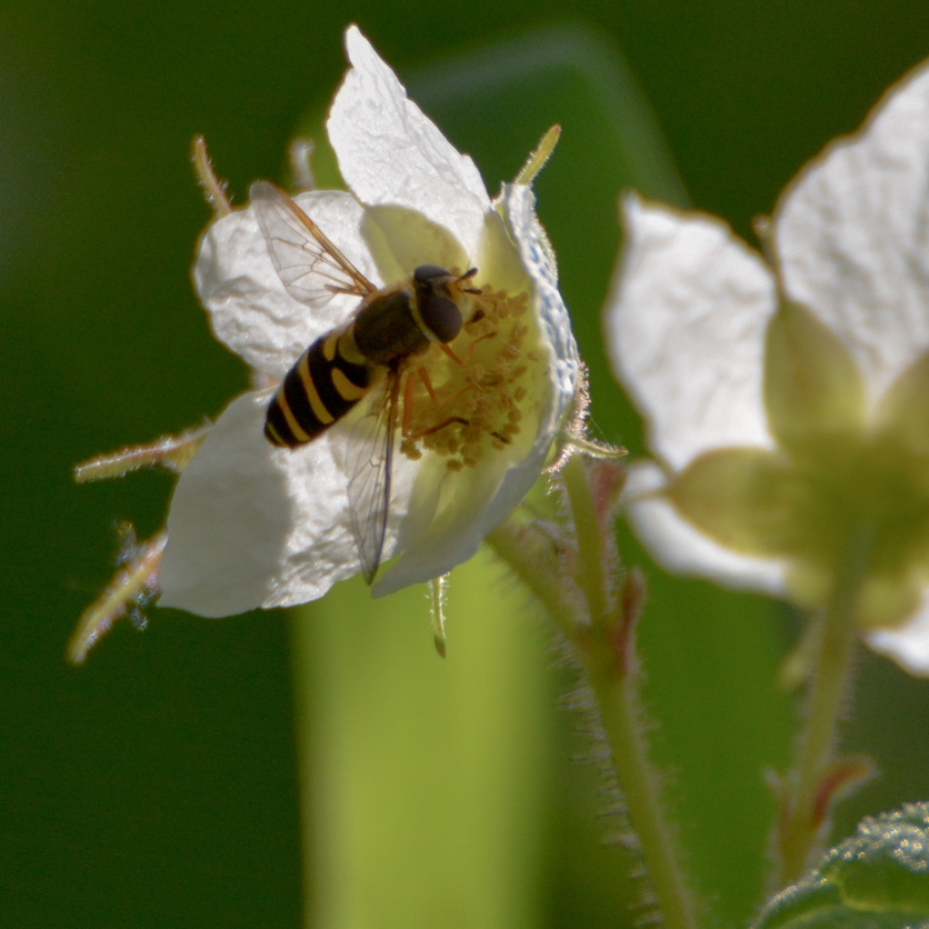 05-03-15_art_hover-fly_1