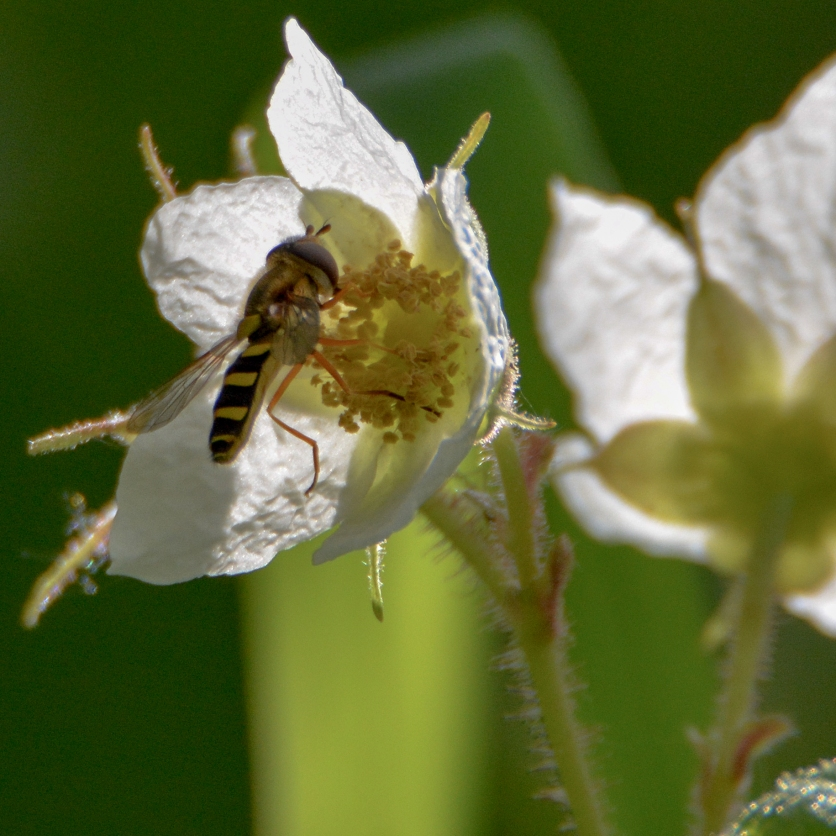05-03-15_art_hover-fly_2