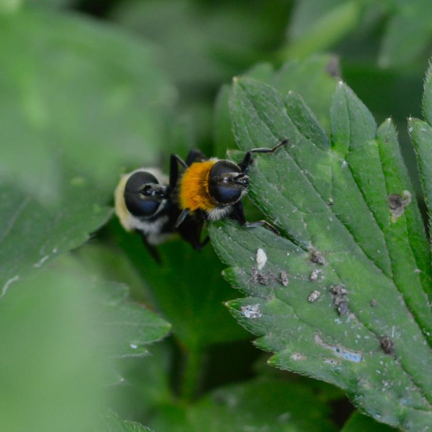05-14-15_bumblebee_1