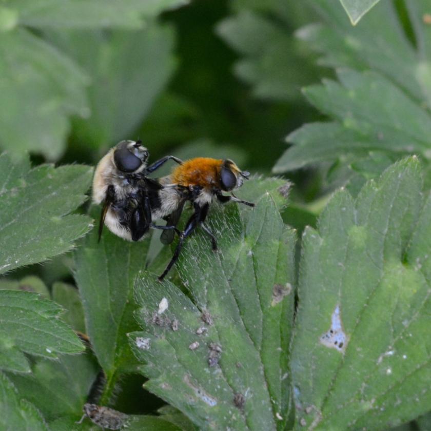 05-14-15_bumblebee_3
