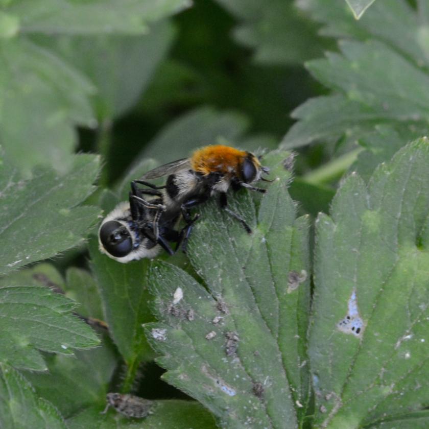 05-14-15_bumblebee_4