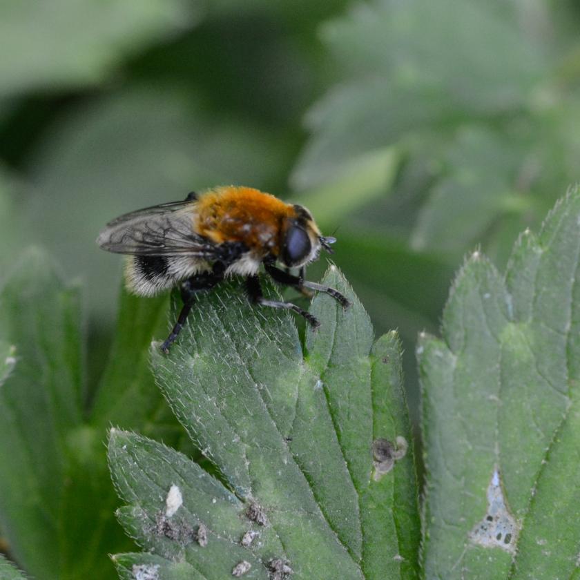05-14-15_bumblebee_5
