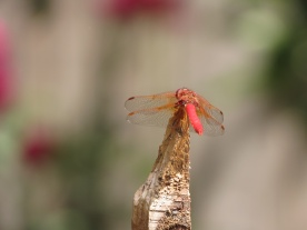 06-20-13_art_cardinal_meadowhawk_a