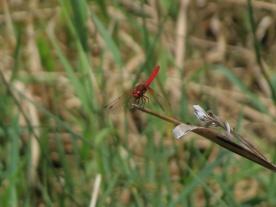 07-18-13-art_insect_cardinal_meadowhawk_a