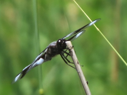 07-18-13_art_insect_eight-spotted_skimmer_a