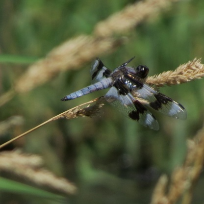 07-21-13_art_insect_eigth-spotted_skimmer_a