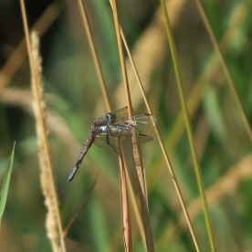 07-28-13_art_insect_blue_dasher_a