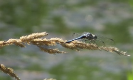 07-28-13_art_insect_blue_dasher_b