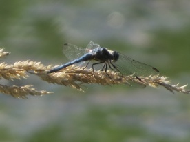 07-28-13_art_insect_blue_dasher_c