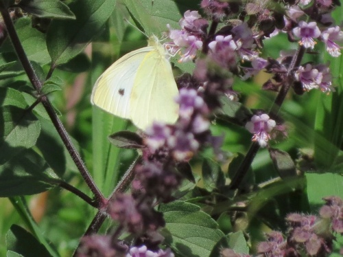 08-21-13_art_insect_cabbage_white_butterfly_b
