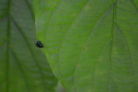 08-28-13_art_insect_alder_flea_beetle