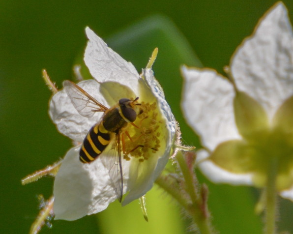 05-03-15_art_insect_hoverfly_1