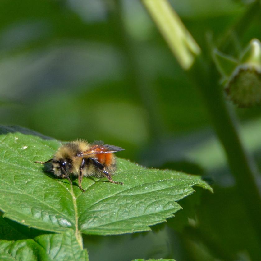05-31-15_bumblebee