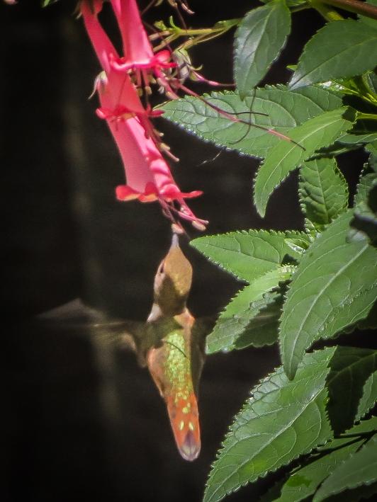 20130704-07-04-13_b_annas_hummingbird_b copy