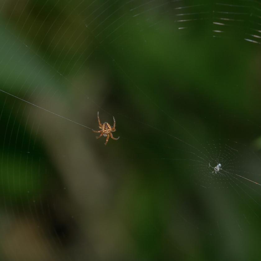05-31-15_cross_orbweaver_spider_a