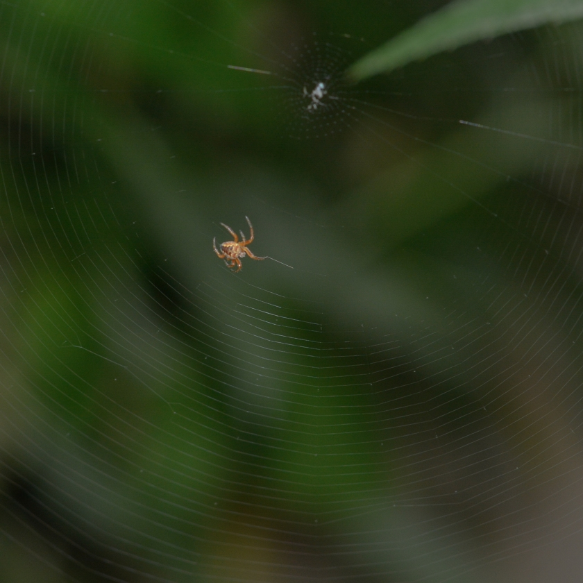 05-31-15_cross_orbweaver_spider_b