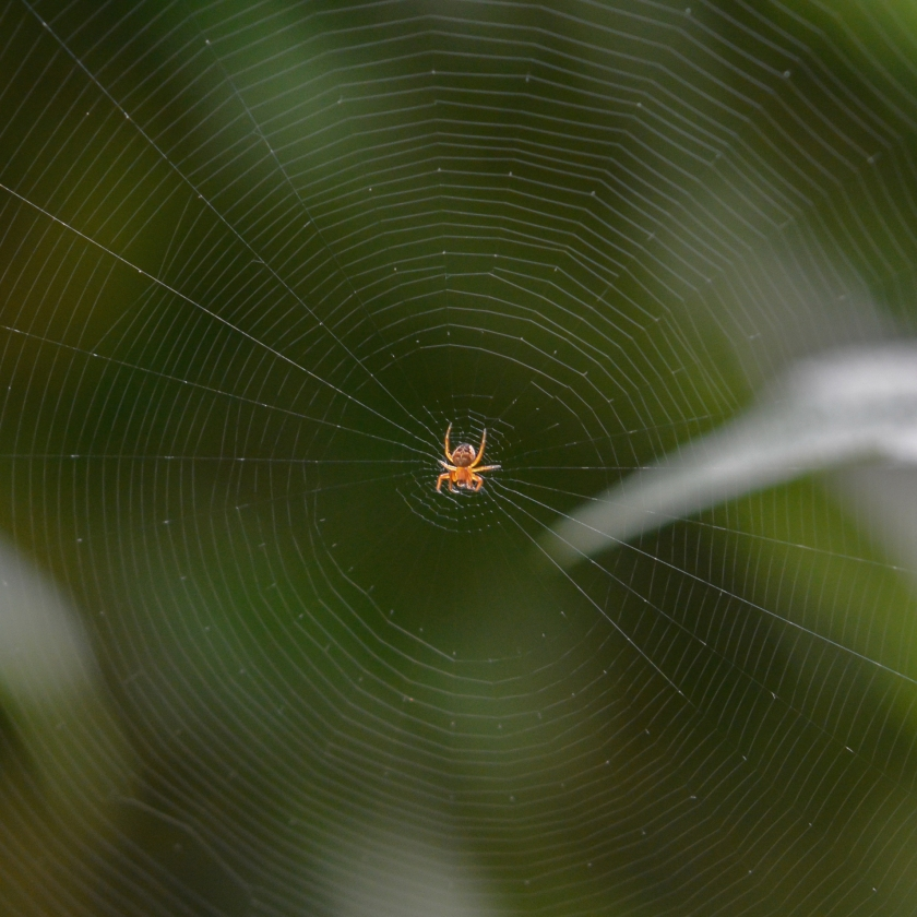 05-31-15_cross_orbweaver_spider_c
